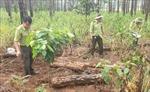 Phát hiện hàng trăm khúc thông bị chôn vùi ở Lâm Đồng