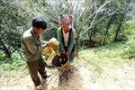 Cây thoát nghèo của đồng bào Mông ở Điện Biên