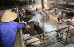Dịch tả lợn châu Phi có chiều hướng gia tăng tại nhiều tỉnh