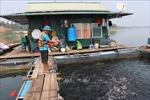 Tháo gỡ khó khăn cho doanh nghiệp nuôi cá lồng trên hồ Thác Bà