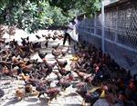 Giá gà giảm, người chăn nuôi thấp thỏm vụ Tết