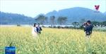 Cánh đồng hoa cải ven sông thu hút du khách