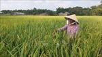 Lúa Thu Đông được giá, nông dân lãi từ 12 - 15 triệu đồng/ha