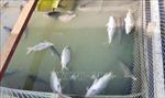 Khẩn trương di dời các bè nuôi cá trên khu vực sông Cái Vừng
