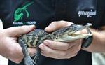 Phát hiện 10 chú cá sấu Xiêm con thuộc loài gần tuyệt chủng tại Campuchia