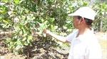 Bọ trĩ 'tấn công' vườn điều Bình Phước
