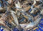 Nắng nóng gay gắt, gần 1.200 ha tôm sú, thẻ chân trắng bị thiệt hại