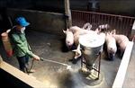 Phòng, chống dịch tả lợn châu Phi trước nguy cơ tái phát cao
