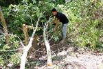 Báo động tình trạng khai thác bằng lăng ở khu vực đèo Mang Yang, Gia Lai