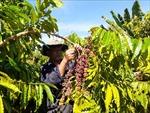Thị trường nông sản tuần 29/6-4/7: Giá tiêu, cà phê bật tăng trở lại