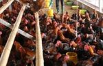 Tái phát bệnh cúm H5N1 trên gia cầmở Trà Vinh