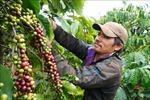 Thị trường nông sản tuần qua: Giá cà phê tăng trở lại