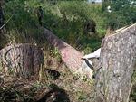 Làm rõ, xử lý nghiêm đối tượng chặt hạ cây thông cổ thụ tại khu đất vàng Đà Lạt