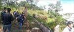 Điều tra vụ hàng loạt cây thông cổ thụ bị cưa hạ tại Đà Lạt