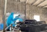 Ninh Bình cơ bản khống chế bệnh viêm da nổi cục trên đàn trâu bò