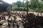 Cấp bách tìm đầu ra cho đàn gà các tỉnh Đông Nam bộ