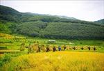 Mùa vàng ấm tình quân dân vùng ngoài lòng chảo Mường Thanh