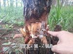 Tan hoang rừng thông 20 năm tuổi ở Đam Rông, Lâm Đồng
