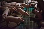 Lạng Sơn tăng cường phòng ngừa dịch tả lợn châu Phi