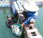 Cá bớp chết hàng loạt ở Bình Sơn do di chuyển lồng bè tránh trú mưa bão
