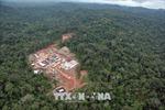 Cây cọ dầu đang 'ăn trụi' rừng Amazon