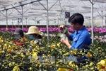 Đà Lạt có khoảng 1.500 ha hoa phục vụ thị trường Tết