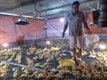 Chuyển đổi chăn nuôi trong 'bão' dịch tả lợn châu Phi
