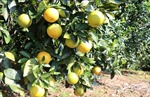 Trồng cam hữu cơ sạch ở vùng gò đồi cho thu nhập cao