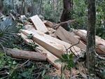 Phát hiện hàng chục cây gỗ quý hiếm bị triệt hạ tại rừng phòng hộ Chư Mố