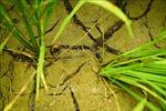 Nhiều diện tích lúa, hoa màu tại Cà Mau bị thiệt hại do hạn, mặn