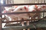 Đẩy mạnh hết công suất cung cấp lợn giống để tái đàn nhanh