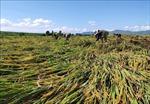 Kon Tum tập trung phục hồi nông nghiệp sau bão số 9
