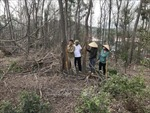 Gần 1 ha rừng trồng ở Thành phố Chí Linh bị chết vì khô nóng