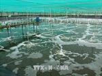Phát triển vùng nuôi tôm biển công nghệ cao