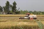 Lúa Đông Xuân vùng ngọt hóa Gò Công thu lãi cao