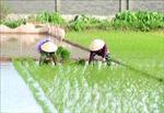 Gần 99% diện tích đã có nước gieo cấy vụ Đông Xuân