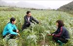 Phát triển dược liệu thành cây trồng mũi nhọn xóa nghèo