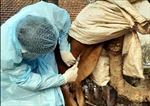 Giám sát, xử lý sớm gia súc có biểu hiện bệnh viêm da nổi cục tại Ninh Bình
