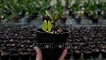 Giải mã công nghệ tạo giống lan rừng quý hiếm - Bài 1: Nhân giống hàng loạt lan Giả hạc Di Linh
