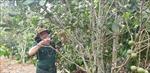 Phát triển kinh tế từ trồng xen canh cây mắc ca