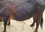 Bà Rịa-Vũng Tàu xuất hiện dịch viêm da nổi cục trên đàn trâu, bò