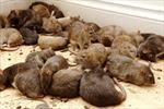 London bị phong tỏa, chuột đói ăn hoành hành kinh hoàng