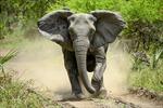 Sợ bị săn trộm, voi ở Mozambique 'không dám' mọc ngà
