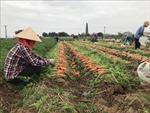 Tín hiệu vui cho xuất khẩu cà rốt Hải Dương