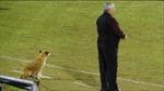 Ngộ nghĩnh chú chó đi lạc 'tình nguyện' làm trợ lý huấn luyện