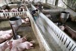 Các địa phương cần tạo điều kiện tối ưu để tăng tốc tái đàn lợn