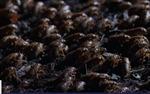 Hàng tỷ con ve sầu sắp trồi lên sau 17 năm ngủ vùi