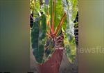 Mục sở thị cây kiểng đột biến giá 1,2 tỷ đồng ở Thái Lan