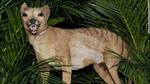 Hổ Tasmania xuất hiện trở lại