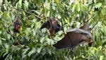 Cảnh báo bùng phát virus Nipah gây chết người
